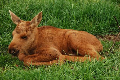 Moose, Young, Sweden, Moose Calf, Elk Park