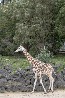 Giraffe, Baby Giraffe, Africa, Animal, Nature