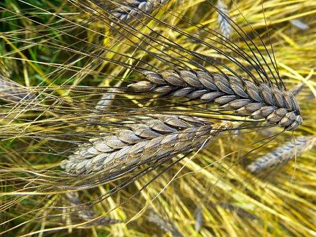Emmer, Urkorn, Atratumgetreide, Cereal, Grow, Harvest
