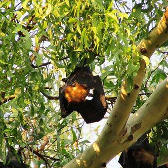 Tree, Bats, Dharwad, Bat-eared, India, Mamma, Fly