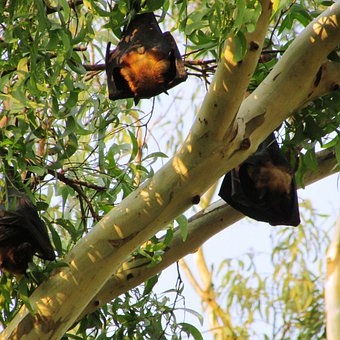 Sleeping, Bats, Dharwad, Bat-eared, India, Mamma, Fly