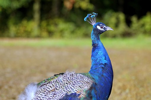 Peacock, Bird, Blue, The Head Of The, Profile, Garden