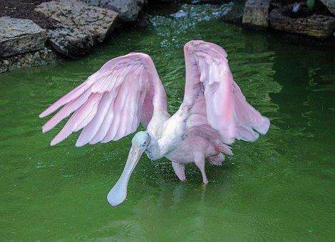 Spoonbill, Crane, Roseate Spoonbill, Bird, Water Bird