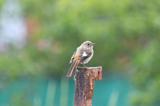 Redstart, Chick, Animals, Birds, Young, Summer, Nature