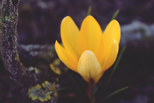 Crocus, Yellow, Flower, Blossom, Bloom, Spring, Nature
