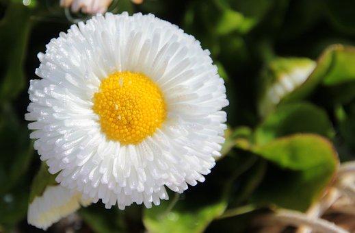 Geese Flower, Daisy, Spring, Blossom, Bloom, White