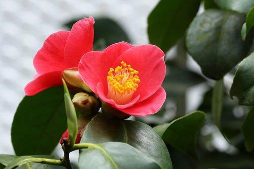 Flowers, Camellia, Rajec Jestrebi