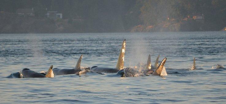 Orcas, Killer Whales, Shimmer, Victoria, Canada