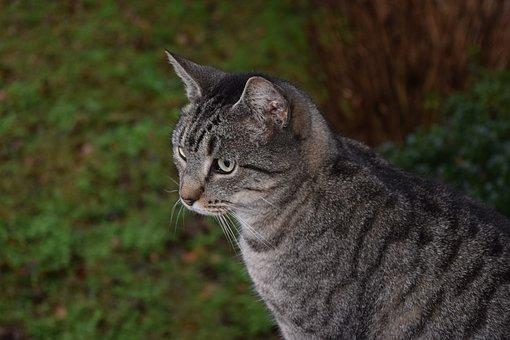 Cat, Striped Cat, Tiger Cat, Animal, Cute, Feline, Fur