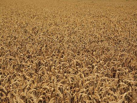 Wheat Field, Cornfield, Many, Wheat, Spike, Cereals