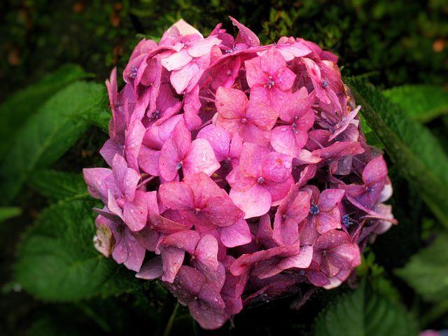 Hydrangea, Ota Kisan, Pink, Red, Rain, Drop Of Water