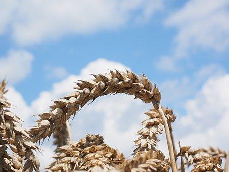 Wheat, Spike, Cereals, Grain, Field, Wheat Field