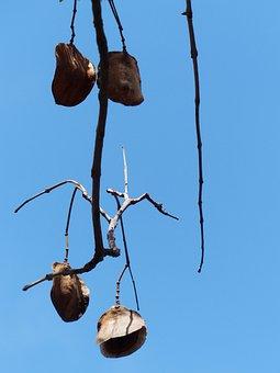 Capsules, Seeds, Flat, Lederartig, Red Brown, Branch