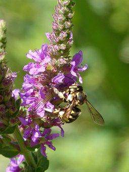 Hornet, Flower, Libar, Megascolia Maculata, Wild Flower
