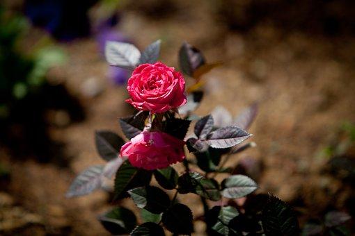 Rose, 5dmark2, 70-200mm, Flowers