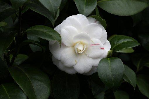 Flowers, Camellia, Rajec Jestrebi, White