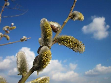 Salix Caprea, Catkins, Goat Willow, Pussy Willow
