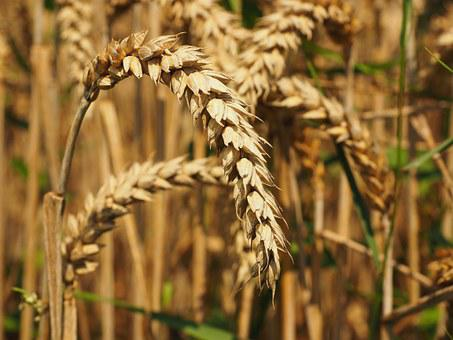 Wheat, Bread Wheat, Seed Wheat, Spike, Cereals, Grain