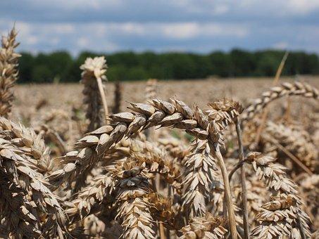 Wheat Spike, Wheat, Cereals, Grain, Field, Wheat Field