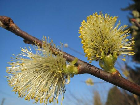 Salix Caprea, Goat Willow, Pussy Willow, Great Sallow
