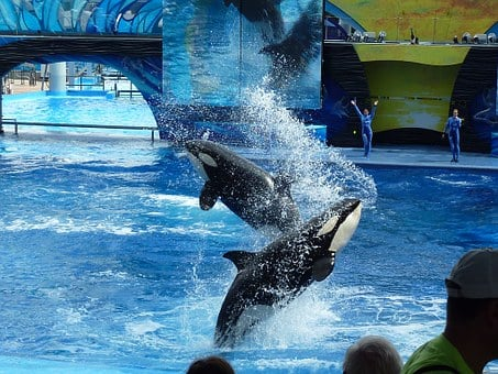 Killer Whale, Orca, Whale, Whale Show, Jump, Killer