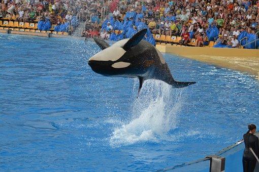 Orca, Show, Tenerife, Water Park, Jump, Performance