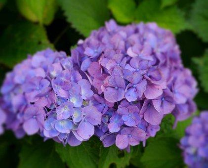 Hydrangea, Purple, Kannonzaki, Yokosuka, Kanagawa Japan