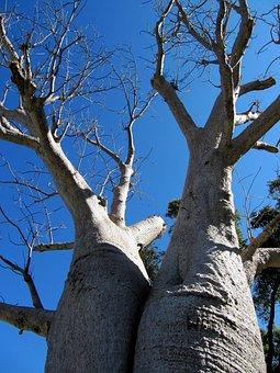 Baobab, Perth, Kings Park, Tree, Adansonia Digitata