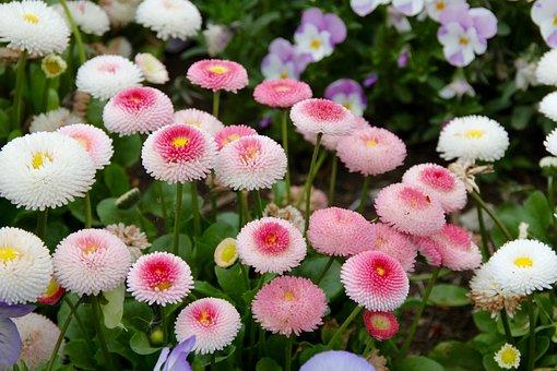 Daisy, Korbblüter, Flowers, Pointed Flower