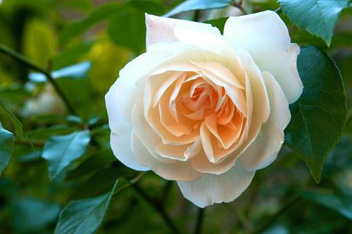 White Rose, Love, Yellow, Flower, England, Power