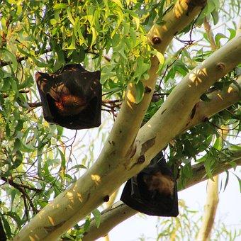 Bats, Dharwad, Bat-eared, India, Mamma, Fly, Wings