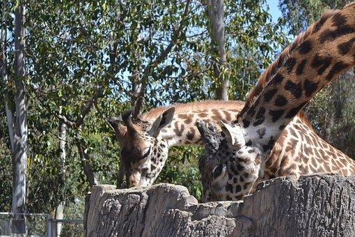 Giraffe, Adult, Animal, Wildlife, Mammal, Nature, Tall