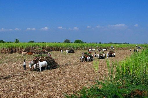 Sugarcane, Harvest, Bullock Cart, Men At Work