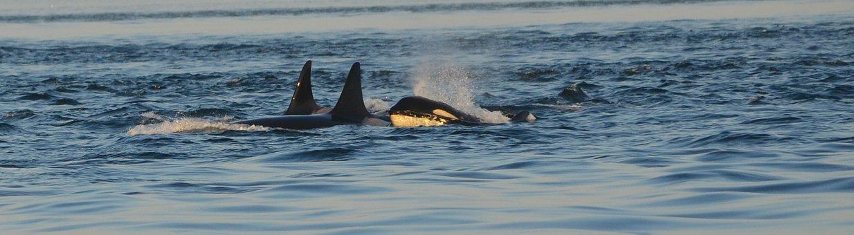 Orca, Killer Whale, Ocean, Pod, Wildlife
