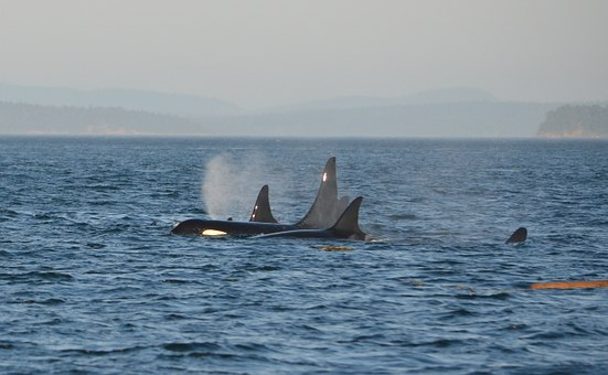 Orca, Pod, Killer Whale, Ocean, Swim, Marine