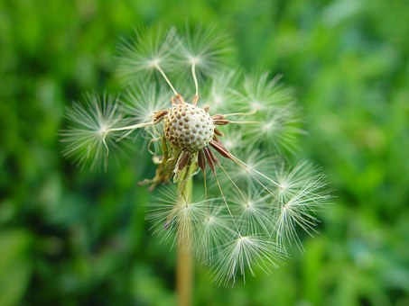 Dandelion, Disintegrating, Flowers, Plants, Flora