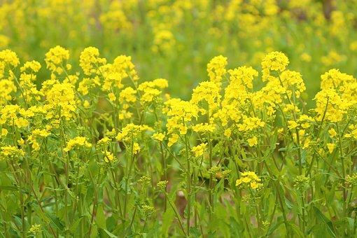 Rape Blossoms, Yellow, Flowers, Landscape, Japan, Plant