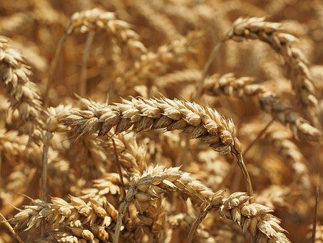 Wheat, Spike, Golden Yellow, Honey Yellow, Yellow, Ripe