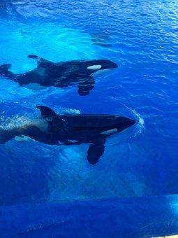 Orcas, Killer Whales, Whales, Sea World, San Diego