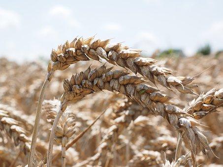 Wheat Spike, Wheat, Bread Wheat, Seed Wheat, Spike