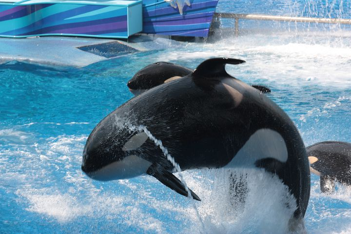 Seaworld, Florida, Orca, Free Willi, Shamu
