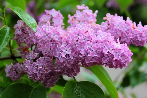 Lilac, Syringa, Olive Crop, Spring, Summer, Plant