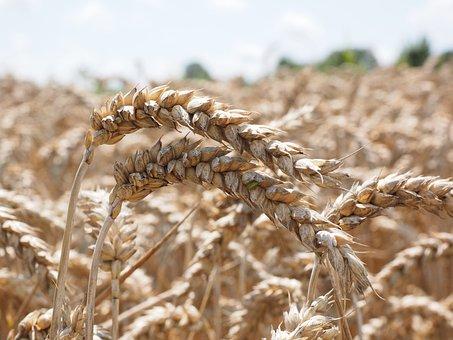 Wheat, Grain, Spike, Cereals, Field, Wheat Field