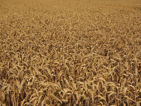 Cornfield, Wheat Field, Harvest, Agriculture, Ripe