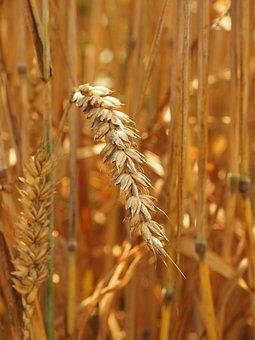 Wheat, Golden Yellow, Honey Yellow, Yellow, Ripe, Spike