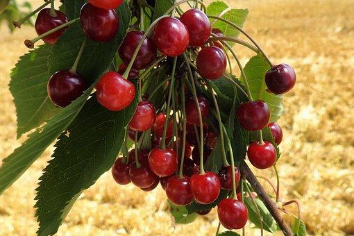Cherry Tree, Wild Cherries, Sweet, Red, Sweet Cherries