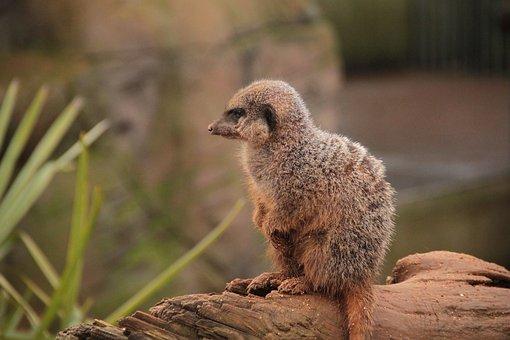 Meerkat, Animal, Nature, Wild, Mammal, Africa, Wildlife