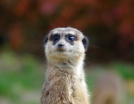 Meerkat, Animal, Zoo, Curious, Fur, Guard, Tiergarten
