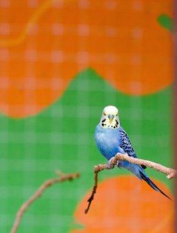 Bird, Budgie, Budgerigar, Blue, Cute, Animal, Pet, Cage