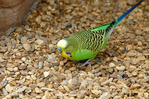 Bird, Budgie, Pet, Parrot, Budgerigar, Small, Animal